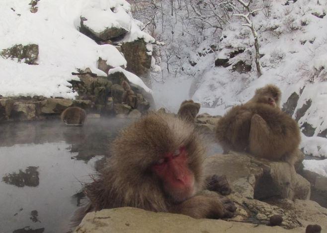 Snow_Monkeys_MorgueFile