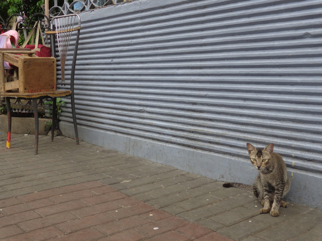 Cat on street of Cebu - Amy McPherson
