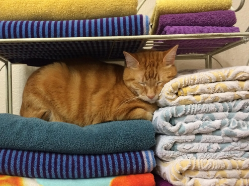 towel-with-cat_MorgueFile_sophisticat