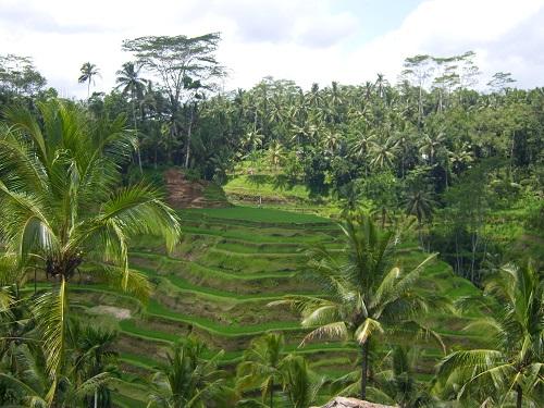 Rice fields of Ubud, Bali. - Amy McPherson