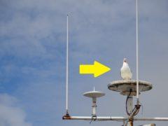 Cornish seagull